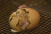 File:Hatching