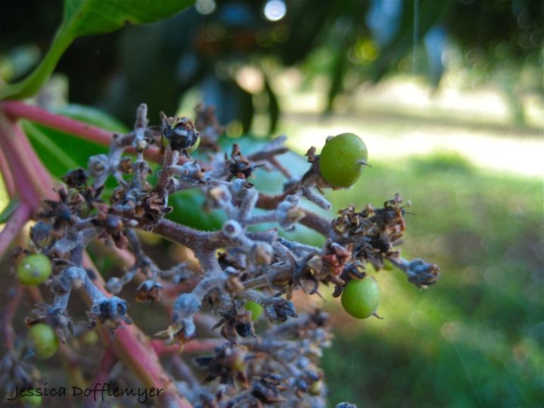more mango buds