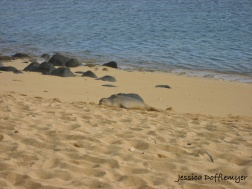 endangered monk seal
