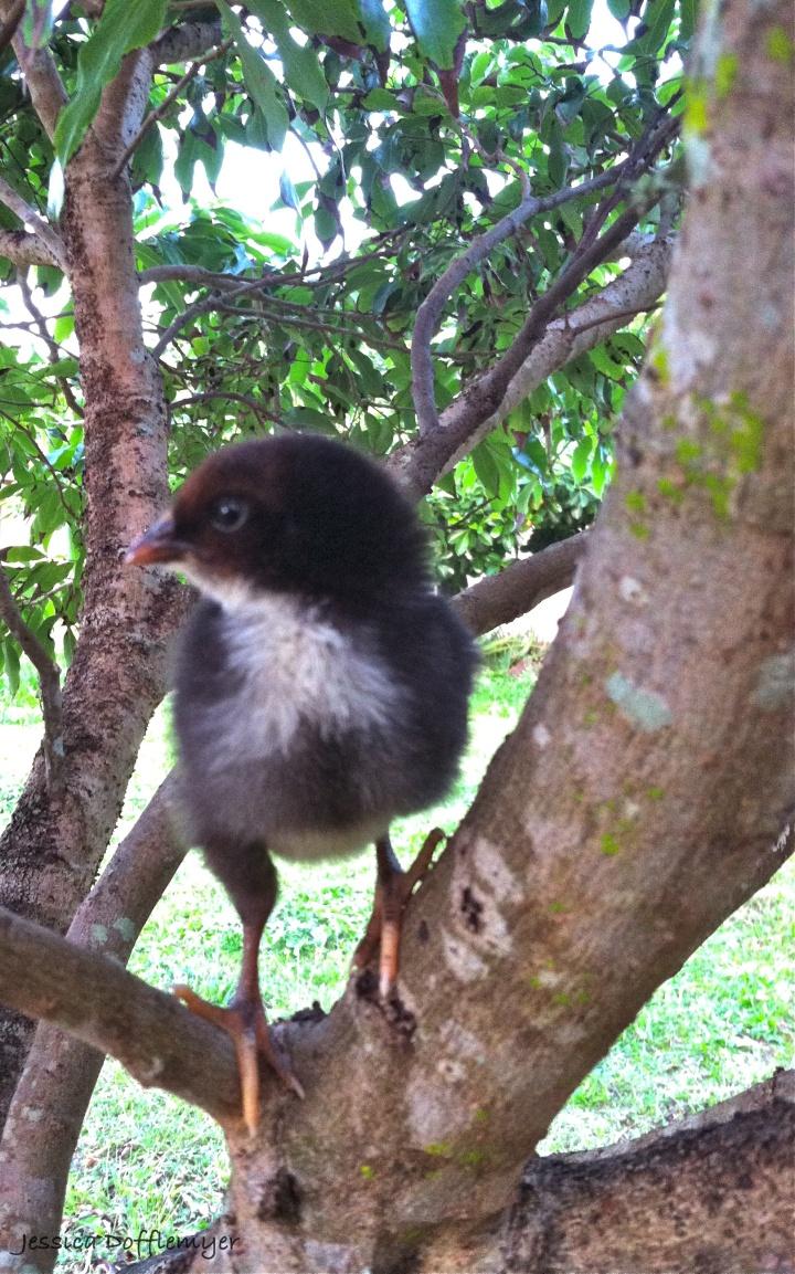 Merlin in the Lychee tree