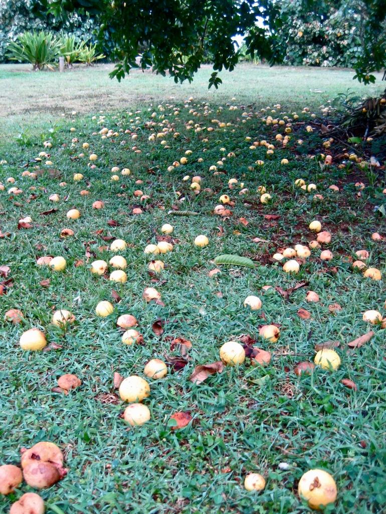 guava galore