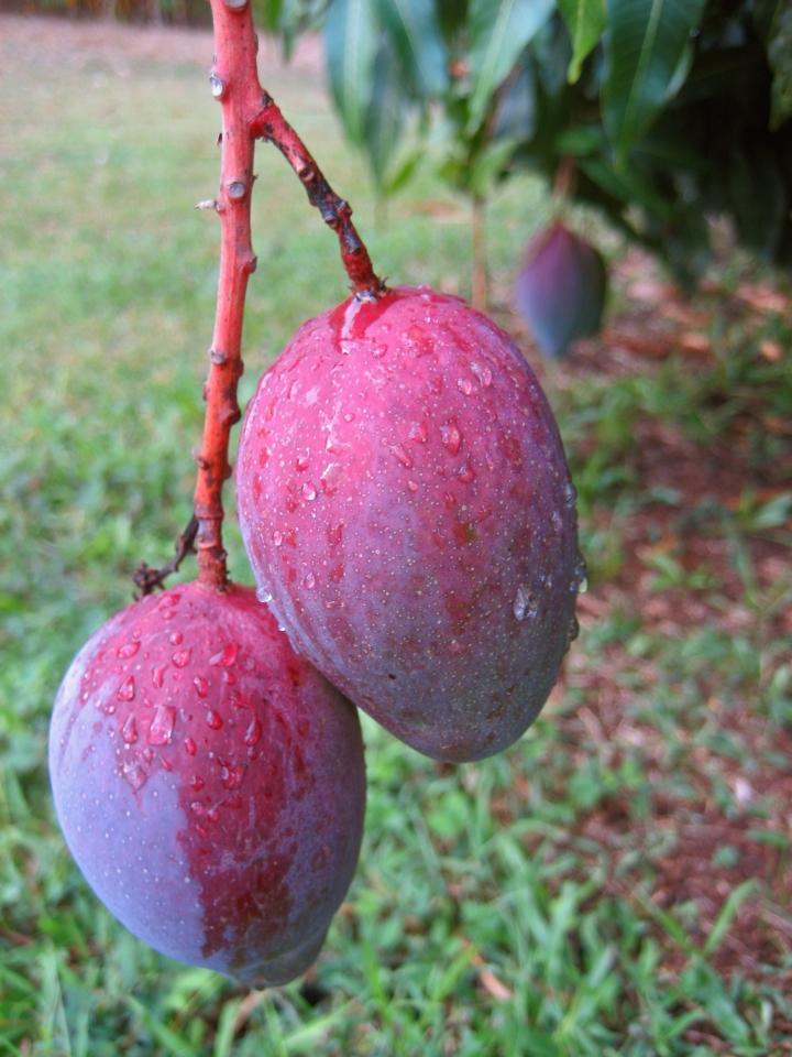 mango times two