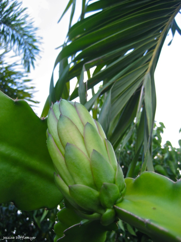 2013-08-15_dragonfruit_young
