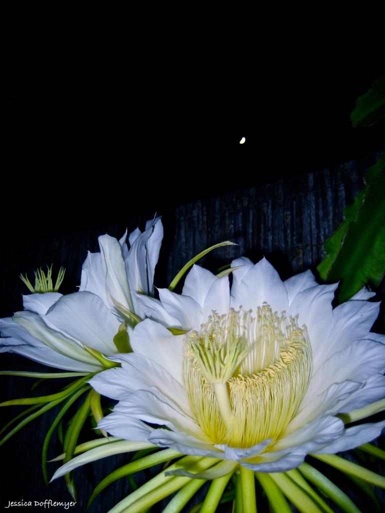 2013-08-21_dragonfruit_moonlight