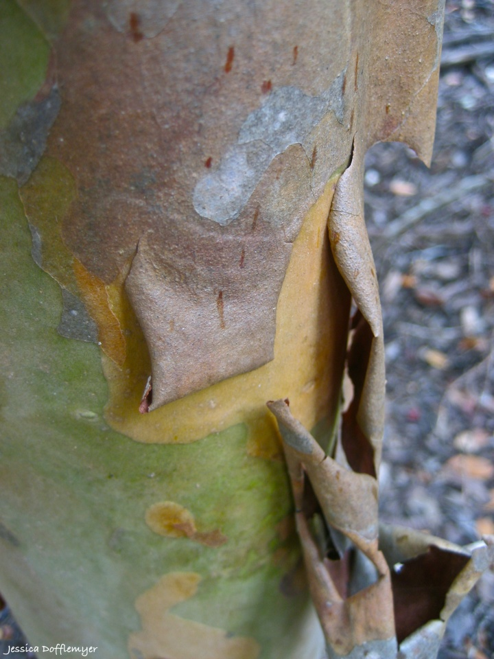 peeling bark on guava tree