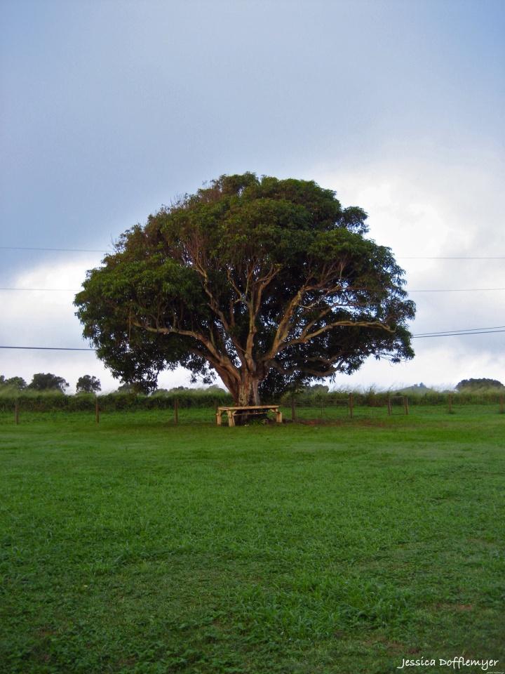 2013-12-11_mango tree