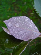 2013-12-11_purple leaf