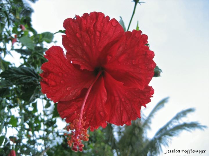 2013-12-13_hibiscus