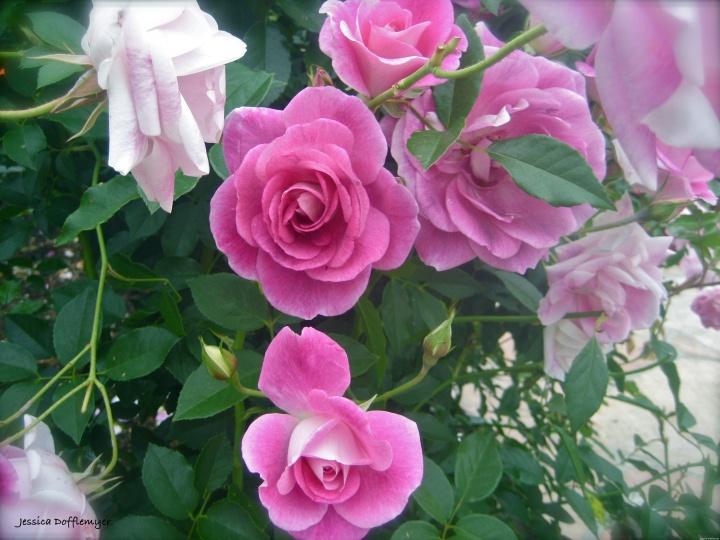 2014-03-05_roses