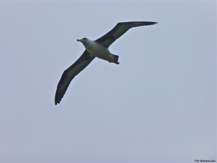 2014-03-18_albatross in flight