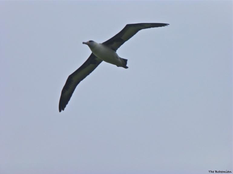 2014-03-18_albatross in flight