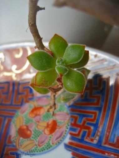 KS_succulent