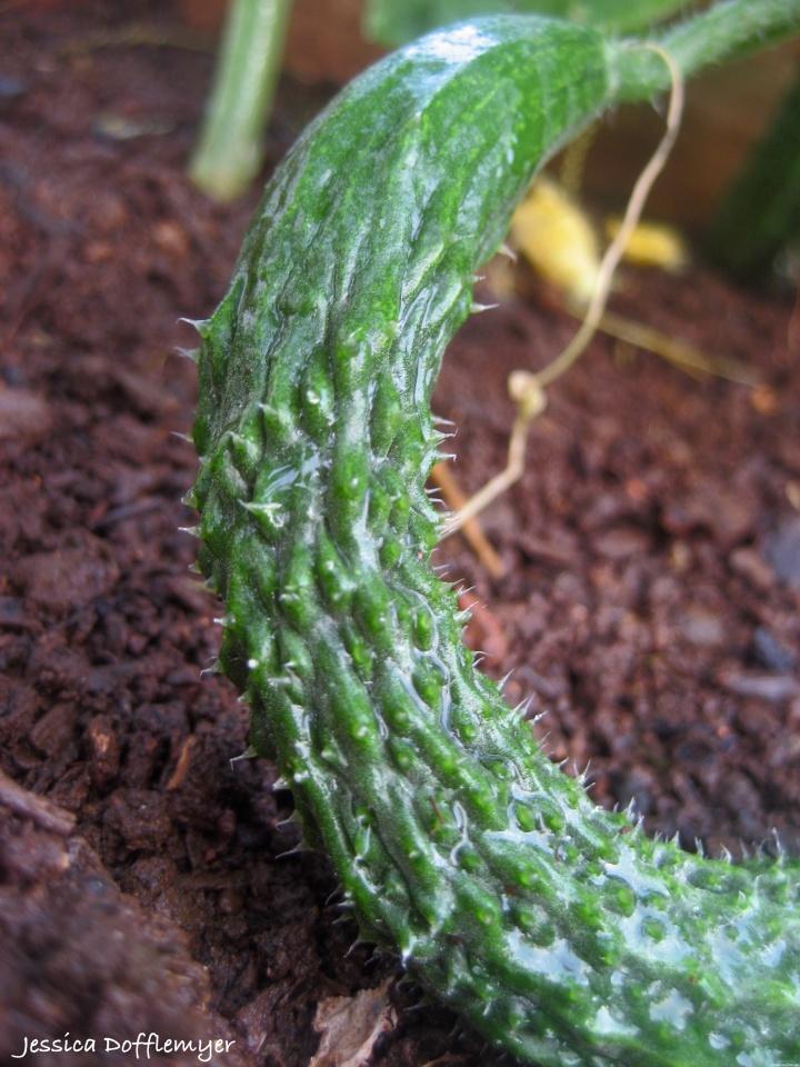 2014-05-28_cucumber new