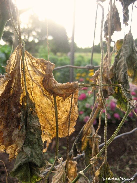 2014-10-22_dried cuk leaf
