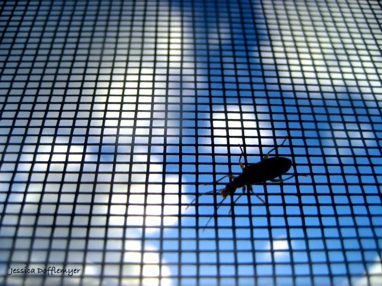 2015-05-30_blister bug