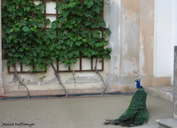 2015-08-06_peacock prague