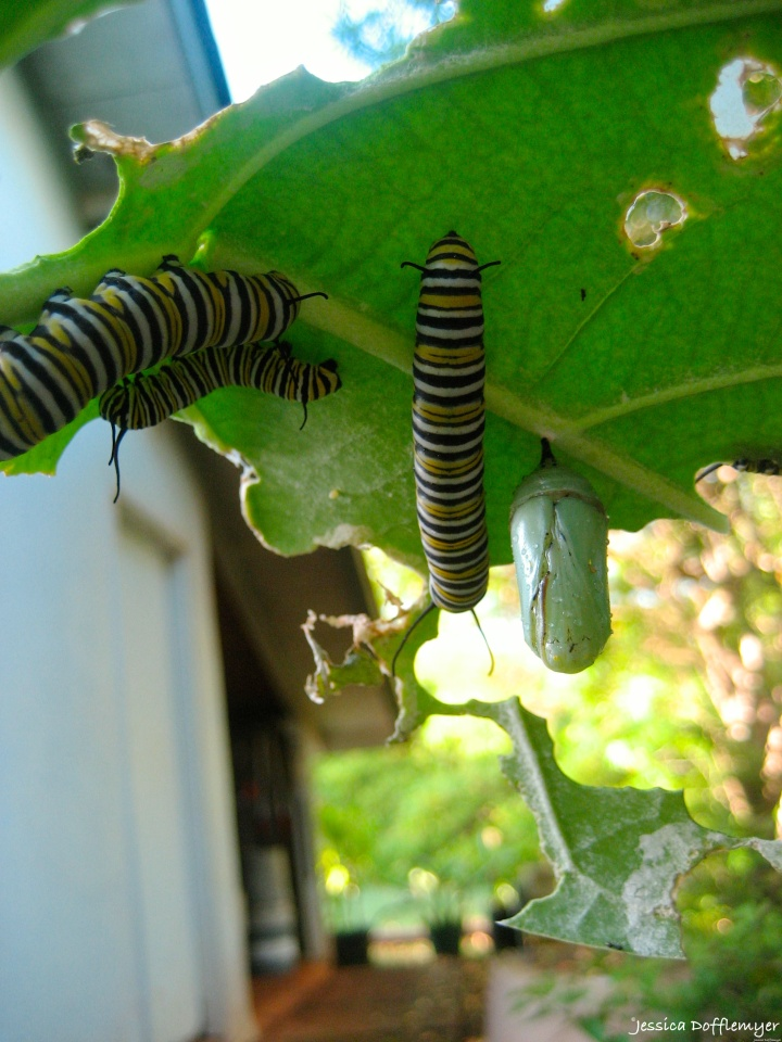 2015-09-02_caterpillar group and cocoon