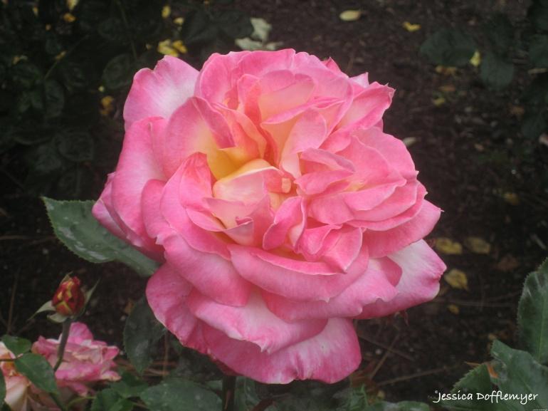 2015-10-22_rose close