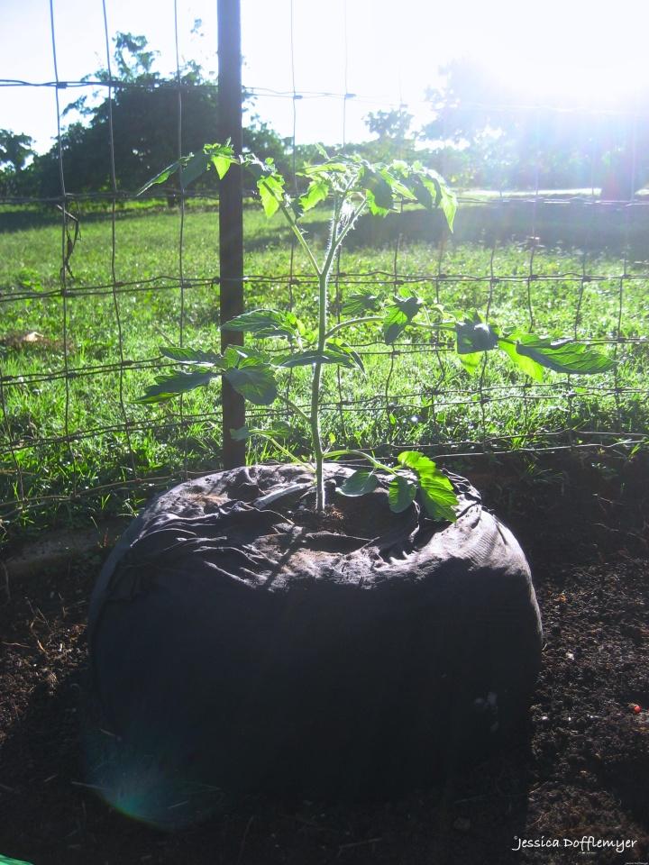 2015-10-26_tomato bag