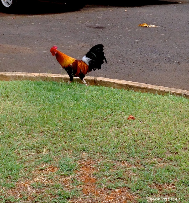 2015-11-11_rooster