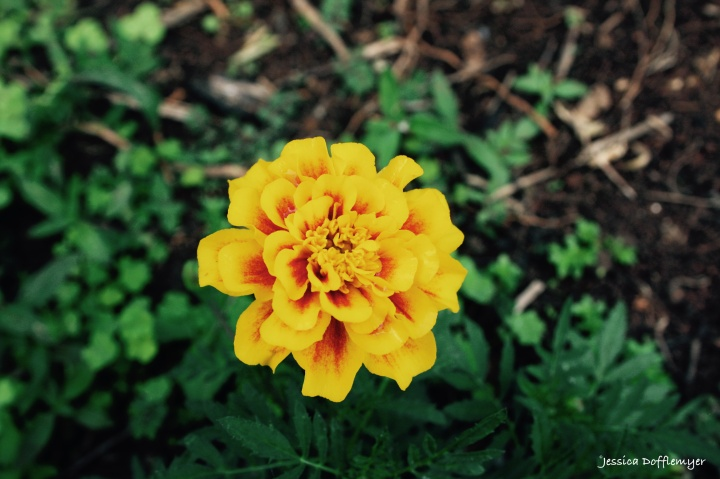 2016-01-29_marigold