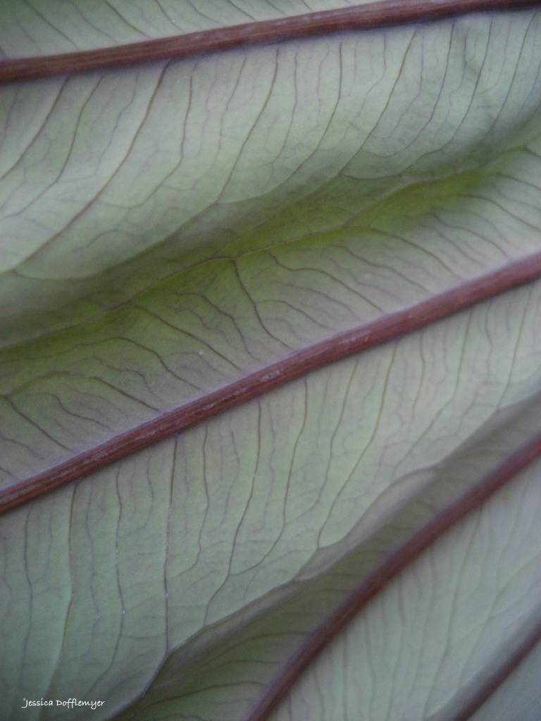 the underside of a kalo leaf (also known as taro)