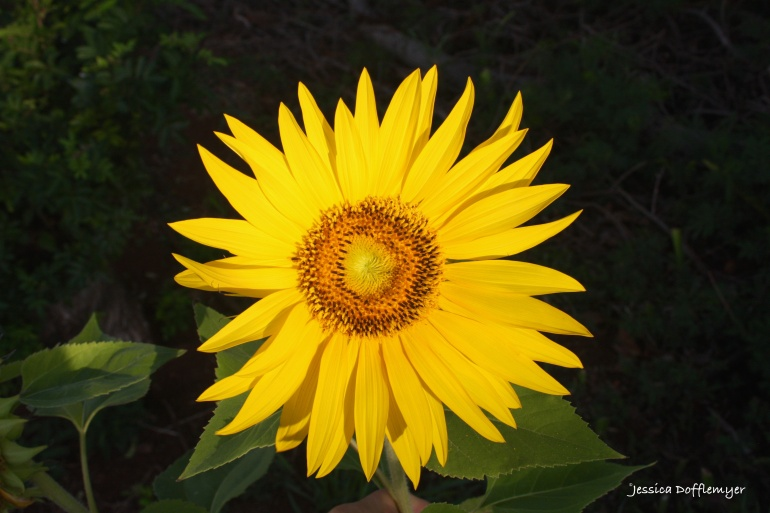 2016-07-11_Sunflower open